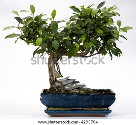 Bonsai Tree in ceramic pot isolated on white - stock photo