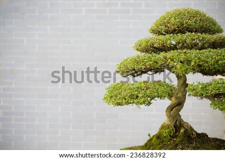 bonsai tree in flower pot with copy space - stock photo