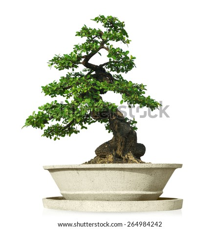 bonsai tree in pot Isolated on white background with clipping path. - stock photo