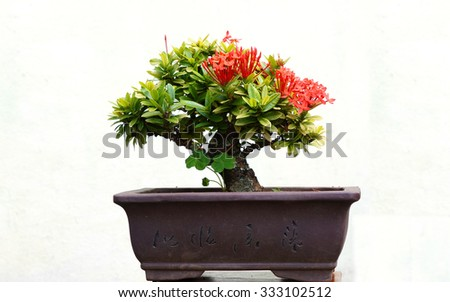 Bonsai tree in pot on white background, isolated. - stock photo