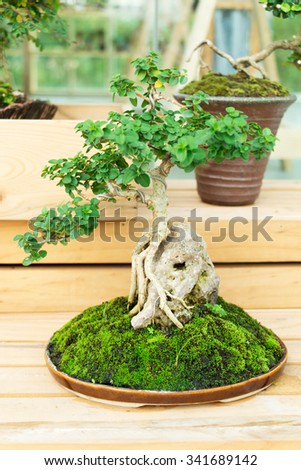 bonsai tree in pot on wooden stand. - stock photo