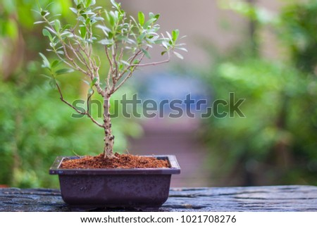 bonsai tree in thailand