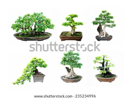 Bonsai tree isolated on a white background - stock photo
