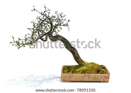 Bonsai tree isolated on a white background. 300 D.P.I - stock photo