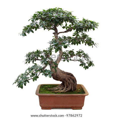 bonsai tree isolated on white, miniature banyan tree - stock photo