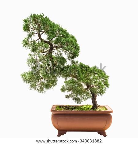 bonsai tree of chinese juniper - stock photo