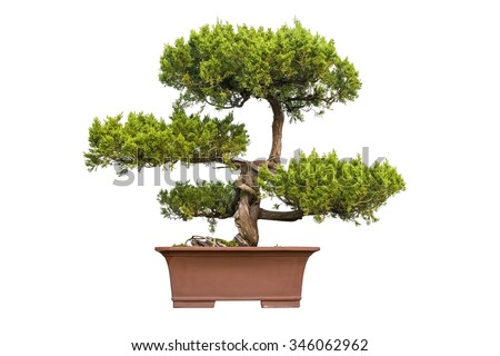 bonsai tree of chinese juniper with a white background - stock photo