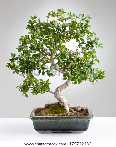 Bonsai tree photographed in the studio on gray background - stock photo