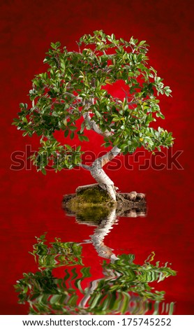 Bonsai tree photographed in the studio on red background - stock photo