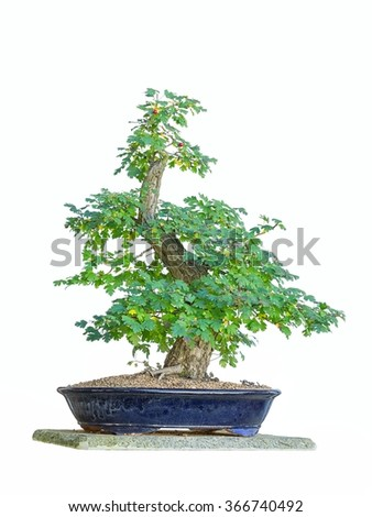Bonsai tree with white background  - stock photo