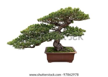 Plantación de pinos enanos: variedades de pino enano para el paisaje