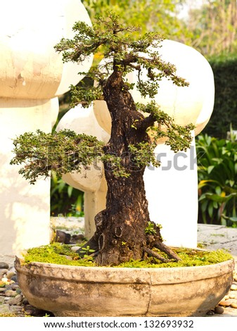 bonsai trees in pot - stock photo