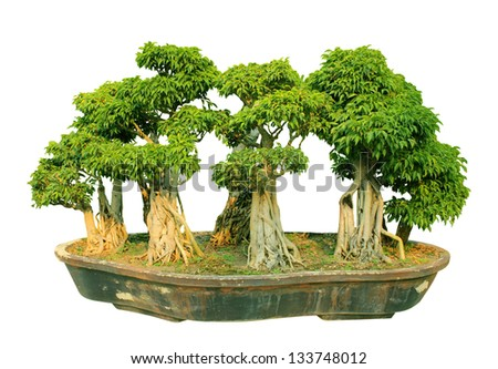 bonsai trees with white background - stock photo