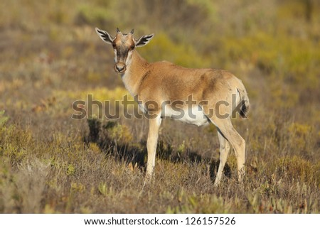 Bontebok antelope calf, De Hoop Nature Reserve, South Africa
