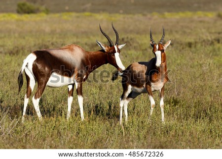 Bontebok Smelling Each Other - The Bontebok is a medium-sized, generally dark brown antelope with a prominent, wide white blaze on its face, with a pure white rump, belly and hocks.