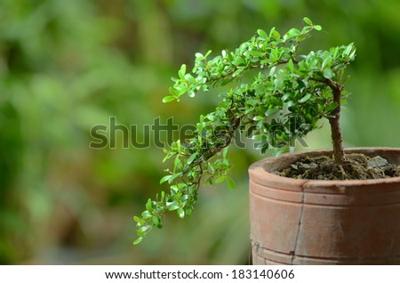 bonzai tree - stock photo