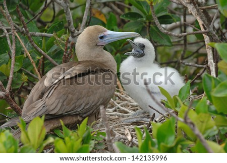 Booby with Young, Galapagos Islands - stock photo