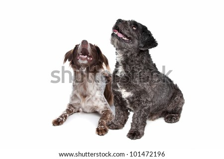 boomer and staby dog in front of a white background