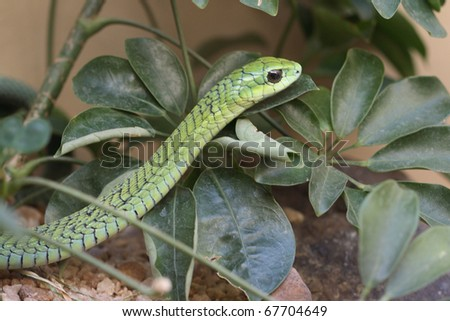 Boomslang, an indeginiose snake of sourthn Africa - stock photo