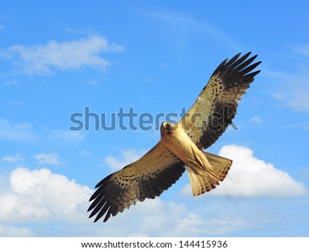 Booted eagle  showing wing spread on sky Backdrop