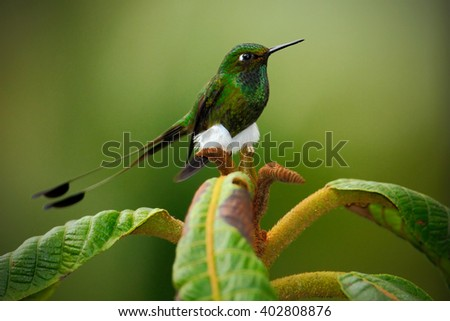 Booted Racket-tail, Ocreatus underwoodii, rare hummingbird from Ecuador, green bird sitting on a beautiful flower, action scene in tropical forest, animal in the nature habitat, white carpet slippers - stock photo