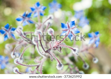 Borage flowers, borage oil, borage plant, wild blue flowers