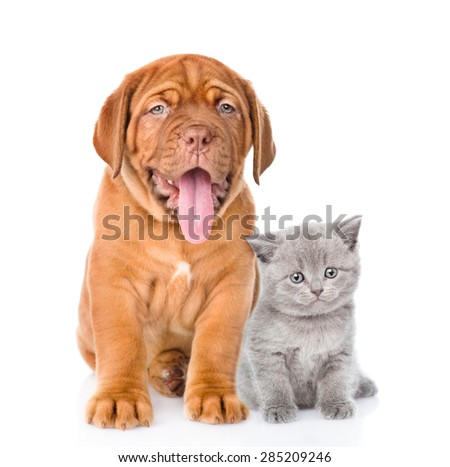 Bordeaux puppy and gray kitten sitting together. isolated on white background - stock photo