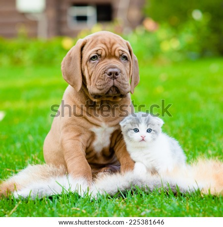 Bordeaux puppy dog and newborn kitten sitting together on green grass  - stock photo