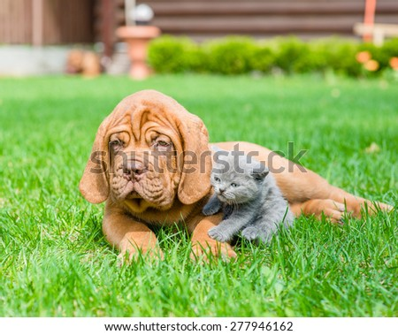 Bordeaux puppy dog and small kitten lying together on green grass - stock photo