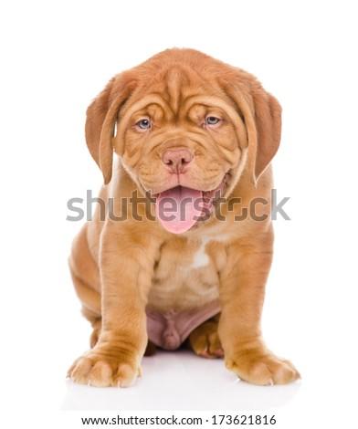 Bordeaux puppy dog. isolated on white background - stock photo