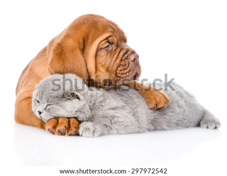 Bordeaux puppy hugs sleeping cat. isolated on white background