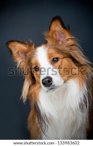 border collie - stock photo