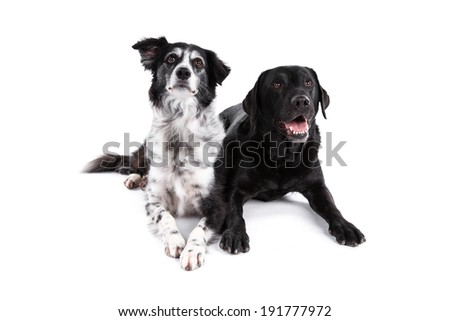 Border Collie and Labrador Retriever dogs on white background