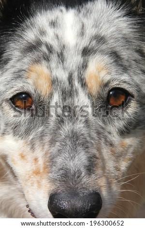 Border collie / Australian Shepherd dog face close up looking alert hopeful thoughtful playful cute attentive - stock photo