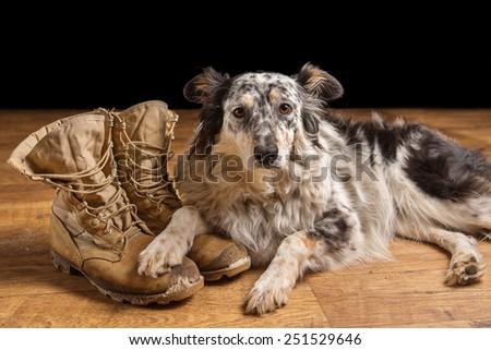 Border collie Australian shepherd dog lying down on tan veteran military combat boots looking sad grief stricken in mourning depressed abandoned alone emotional bereaved worried feeling heartbreak - stock photo