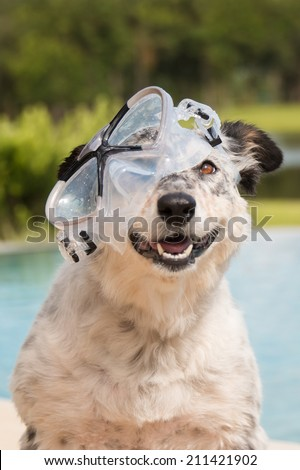 Border collie / Australian shepherd mix dog in pool wearing goggles smiling looking happy excited joyful jovial ready to swim - stock photo