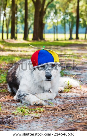 Border Collie / Australian shepherd mix dog laying down outside wearing colorful propeller beanie ready for a birthday costume Halloween party looking sad forlorn unhappy lonely worried - stock photo