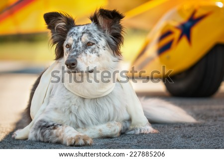 Border collie Australian shepherd mix dog lying down in front of yellow airplane on runway with scarf looking alert listening watching waiting patient worried interested focused ready - stock photo