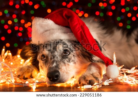 Border collie Australian shepherd mix dog lying down on white Christmas lights with colorful bokeh sparkling lights in background looking hopeful wishful believing celebratory concerned - stock photo