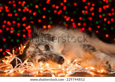 Border collie Australian shepherd mix dog lying down on white Christmas lights with colorful bokeh sparkling lights in background looking hopeful wishful celebratory tired sleepy worn out exhausted - stock photo