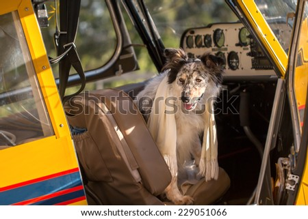 Border collie Australian shepherd mix dog sitting down in pilot seat in plane cockpit wearing white scarf looking adventurous courageous expectant alert ready to travel fly vacation holiday - stock photo