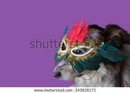 Border Collie Australian shepherd mix dog wearing feather mask masquerade costume bead necklace in observance celebration of carnival mardi gras looking at camera and ready to party have fun celebrate - stock photo