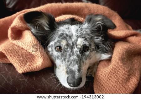 Border collie / australian shepherd under blanket on couch looking hopeful playful warm cozy happy cute - stock photo