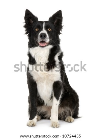 Border Collie Breed () in front of a white background - stock photo