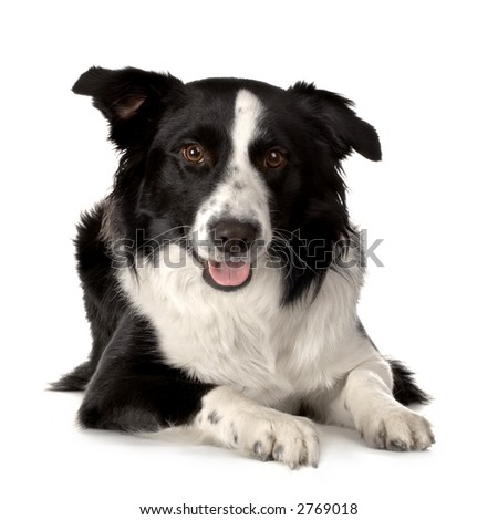 Border Collie Breed lying down in front of a white background and looking at the camera