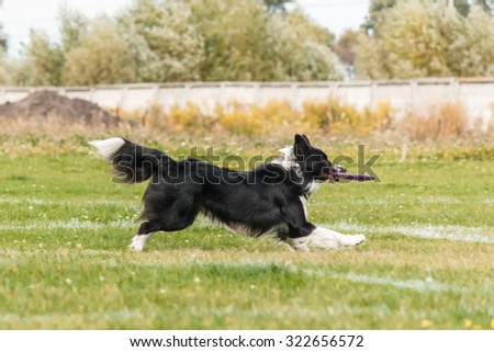 Border Collie catches a flying disc.