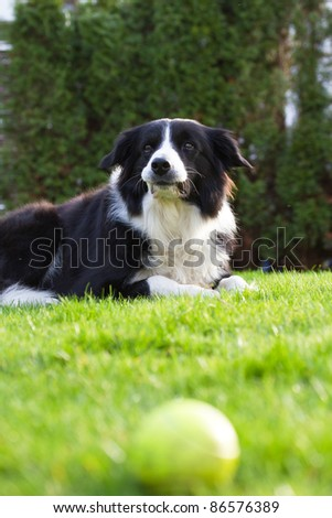 Border Collie Closeup in a garden