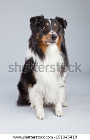 Border Collie Dog Black Brown White Arkiv Bilde (royalty ...
