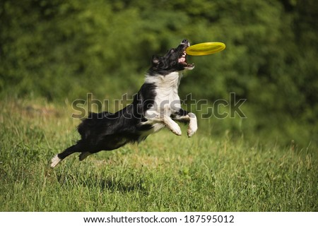 Border collie dog catching the fresbee on the green meadow - stock photo