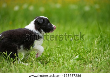Border collie dog in a spring meadow
